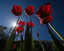 Tulpen_1697