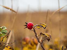 Wildrosenfrucht