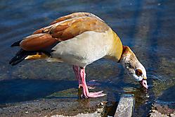 Durstiger Wasservogel