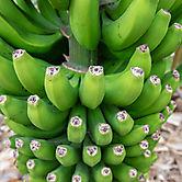 kanarische Bananen