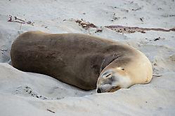 Seelöwe, kann sehr schnell werden, wenn er sich gestört fühlt