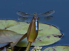 Libellen-2