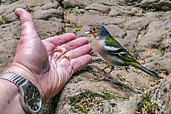 Fütterung - Madeirafinken