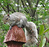 Squirrel_IMG_3556