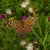 Schmetterling_3_0181