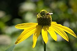 Blume C