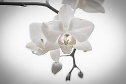 Orchidee n1