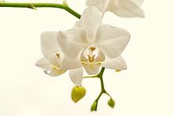 Orchidee n