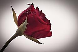 Rose n1