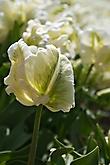 Weisse Tulpe
