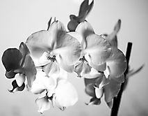 sw Orchide