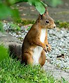 Eichhörnchen a