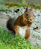 Eichhörnchen b