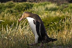 Pinguin a