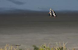 Pinguine a