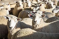 Schafe a