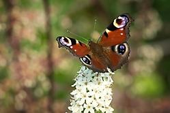 Schmetterling c