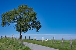 Baum Juni