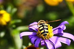 Bienchen und Blume