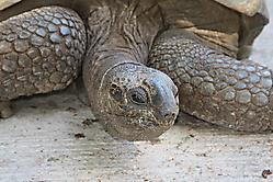 Aldabra-Riesenlandschildkroete