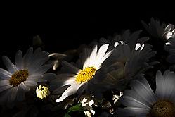 Licht-Schatten-Blumen