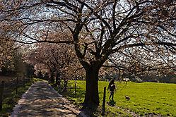 Kirschbaumallee